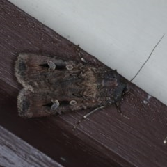 Agrotis infusa (Bogong Moth) at Lilli Pilli, NSW - 7 Oct 2020 by jbromilow50