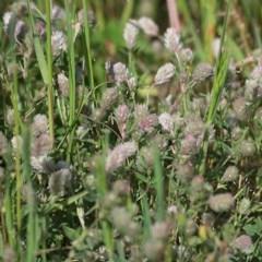Trifolium arvense var. arvense (Haresfoot Clover) at Wodonga - 10 Oct 2020 by Kyliegw