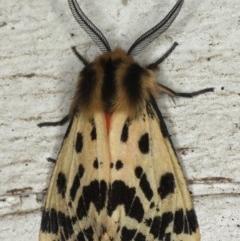 Spilosoma curvata (Crimson Tiger Moth) at Lilli Pilli, NSW - 7 Oct 2020 by jbromilow50