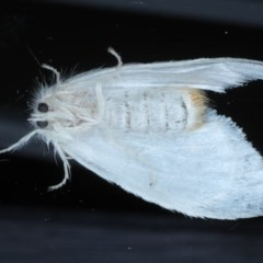 Acyphas sp. (genus) at Lilli Pilli, NSW - 7 Oct 2020