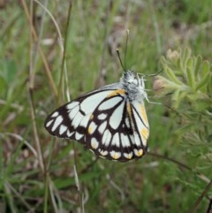 Belenois java (Caper White) at Mount Painter - 9 Oct 2020 by CathB