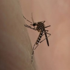 Aedes (Rampamyia) notoscriptus (Striped Mosquito) at Kambah, ACT - 10 Oct 2020 by HarveyPerkins
