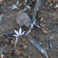 Caladenia fuscata at Upper Nepean State Conservation Area - 13 Sep 2020