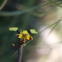 Diuris pardina (TBC) at Upper Nepean State Conservation Area - 4 Oct 2020 by JayVee