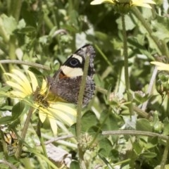Vanessa itea (Yellow Admiral) at Cook, ACT - 10 Oct 2020 by AlisonMilton