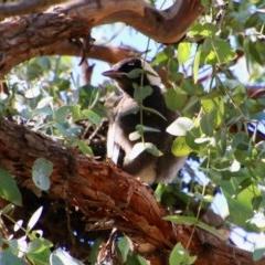 Gymnorhina tibicen (Australian Magpie) at Hughes Grassy Woodland - 6 Oct 2020 by LisaH
