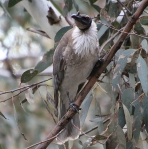Philemon corniculatus at Federal Golf Course - 10 Oct 2020