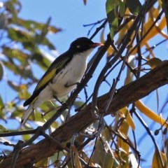 Grantiella picta (Painted Honeyeater) at Mount Ainslie - 10 Oct 2020 by RodDeb