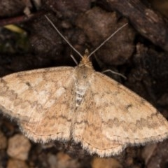 Scopula rubraria (Reddish Wave) at Melba, ACT - 3 Oct 2020 by kasiaaus
