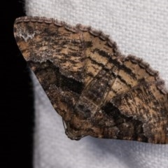 Aporoctena (genus) (A Geometrid moth) at Melba, ACT - 3 Oct 2020 by kasiaaus