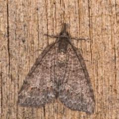 Microdes squamulata (Dark-grey Carpet) at Melba, ACT - 3 Oct 2020 by kasiaaus