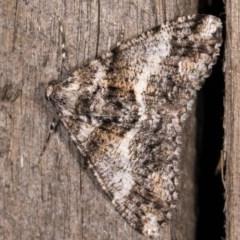 Gastrinodes argoplaca (Cryptic Bark Moth) at Melba, ACT - 3 Oct 2020 by kasiaaus