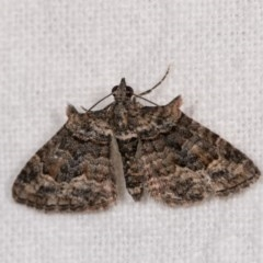 Phrissogonus laticostata (Apple looper moth) at Melba, ACT - 3 Oct 2020 by kasiaaus