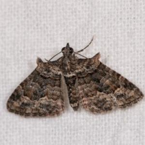 Phrissogonus laticostata at Melba, ACT - 3 Oct 2020
