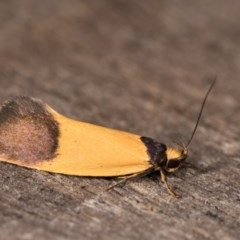 Merocroca automima (A concealer moth) at Melba, ACT - 3 Oct 2020 by kasiaaus