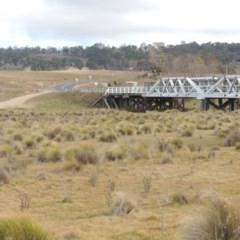 Poa labillardierei (Common Tussock Grass, River Tussock Grass) at Bombala, NSW - 21 Jul 2020 by michaelb
