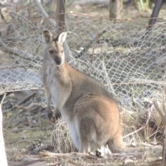 Macropus rufogriseus (Red-necked Wallaby) at Bombala, NSW - 21 Jul 2020 by michaelb
