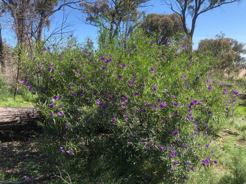 Solanum linearifolium at Gossan Hill - 10 Oct 2020