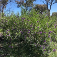 Solanum linearifolium (Mountain Kangaroo Apple) at Gossan Hill - 10 Oct 2020 by goyenjudy