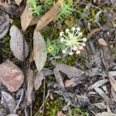 Pimelea linifolia (Slender Rice Flower) at Gossan Hill - 10 Oct 2020 by goyenjudy