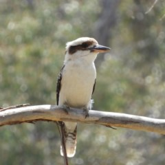 Dacelo novaeguineae (Laughing Kookaburra) at Farrer Ridge - 4 Oct 2020 by MatthewFrawley