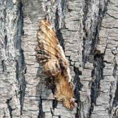 Pholodes sinistraria (Sinister Moth, Frilled Bark Moth) at Wollondilly Local Government Area - 11 Oct 2020 by LyndalT
