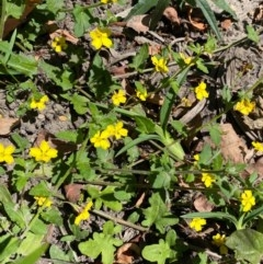 Goodenia heterophylla (Variable-leaved Goodenia) at FS Private Property - 9 Oct 2020 by Stewart