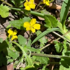 Goodenia heterophylla at FS Private Property - 9 Oct 2020
