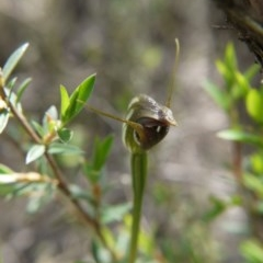 Pterostylis pedunculata (Maroonhood) at Black Mountain - 11 Oct 2020 by ClubFED