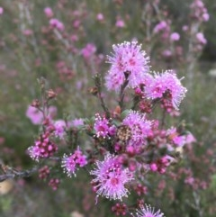 Kunzea parvifolia (Violet kunzea) at Mount Taylor - 10 Oct 2020 by Cathy_Katie