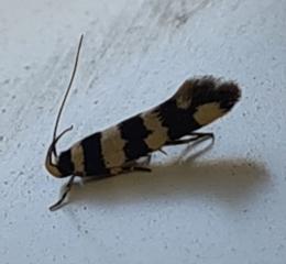 Macrobathra sp.(genus) (A cosmet moth) at Molonglo Valley, ACT - 10 Oct 2020 by AaronClausen