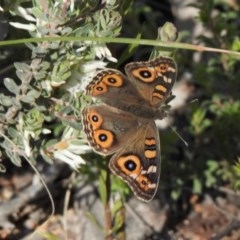 Junonia villida (Meadow Argus) at Aranda Bushland - 10 Oct 2020 by KMcCue