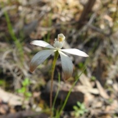 Caladenia ustulata (Brown caps) at ANBG - 9 Oct 2020 by Liam.m