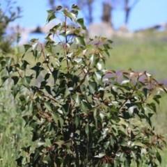 Brachychiton populneus subsp. populneus (Kurrajong) at Mount Painter - 28 Sep 2020 by AlisonMilton
