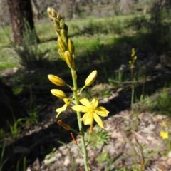 Bulbine bulbosa (Golden Lily) at Mount Ainslie - 10 Oct 2020 by Liam.m