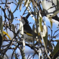 Grantiella picta (Painted Honeyeater) at Mount Ainslie - 10 Oct 2020 by Liam.m