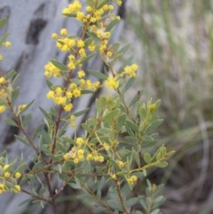Acacia buxifolia subsp. buxifolia (Box-leaf Wattle) at Bruce, ACT - 12 Sep 2020 by AlisonMilton