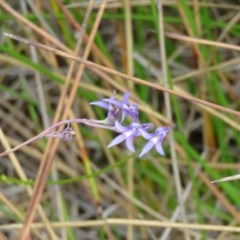 Unidentified Orchid (TBC) at Croajingolong National Park (Vic) - 26 Sep 2017 by Liam.m