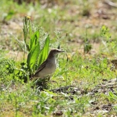 Lalage tricolor (White-winged Triller) at Majura, ACT - 10 Oct 2020 by RodDeb