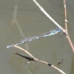Austrolestes leda (Wandering Ringtail) at Mount Ainslie - 10 Oct 2020 by RodDeb