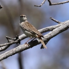 Cincloramphus mathewsi (Rufous Songlark) at Mount Ainslie - 10 Oct 2020 by RodDeb