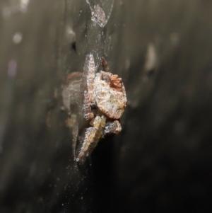 Dolophones sp. (genus) at ANBG - 9 Oct 2020