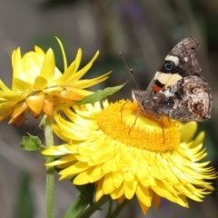 Vanessa itea (Yellow Admiral) at ANBG - 10 Oct 2020 by TimL