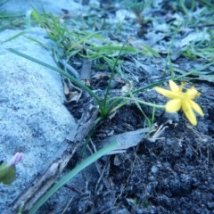 Hypoxis hygrometrica (TBC) at Meroo National Park - 2 Oct 2020 by GLemann