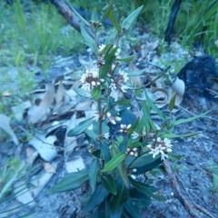 Marsdenia suaveolens (Scented Marsdenia) at Meroo National Park - 2 Oct 2020 by GLemann