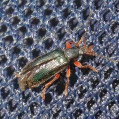 Lepturidea sp. (genus) (Comb-clawed beetle) at O'Connor, ACT - 11 Oct 2020 by ConBoekel