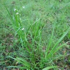 Libertia paniculata (Branching Grass-Flag) at Meroo National Park - 6 Oct 2020 by GLemann