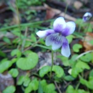 Viola hederacea at Meroo National Park - 7 Oct 2020