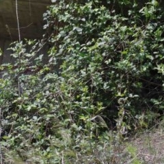 Rubus anglocandicans (Blackberry) at O'Connor, ACT - 11 Oct 2020 by ConBoekel
