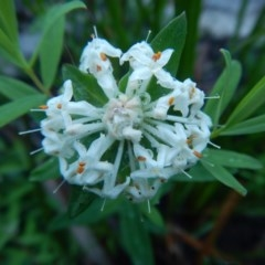 Pimelea linifolia (Slender Rice Flower) at Meroo National Park - 7 Oct 2020 by GLemann